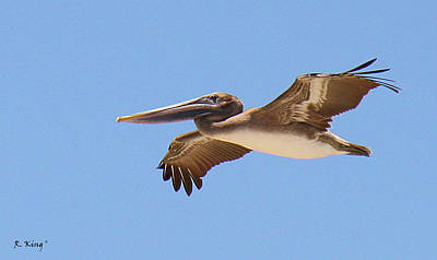 Photograph - Brown Pelican In High Flight by Roena King