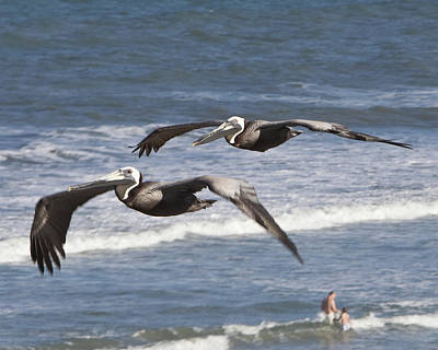 Photograph - Brown Pelican by John Zawacki
