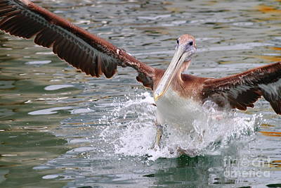 Bif Photograph - Brown Pelican Landing On Water . 7d8349 by Wingsdomain Art and Photography