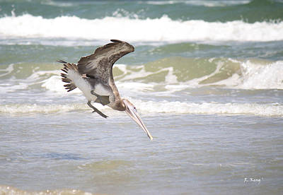 Photograph - Brown Pelican's Fishing Dive by Roena King