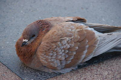 Photograph - Brown Pigeon by Jeff Lowe