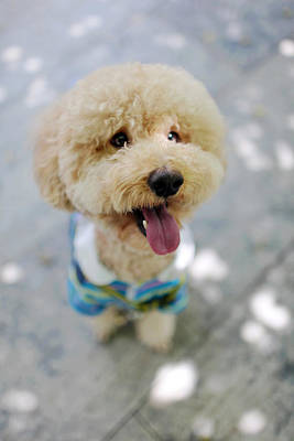 Y120817 Photograph - Brown Poodle by Photography by Bobi