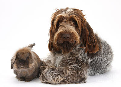 Spinone Photograph - Brown Roan Italian Spinone Dog by Mark Taylor