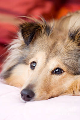 Photograph - Brown Sheltie by Kati Finell
