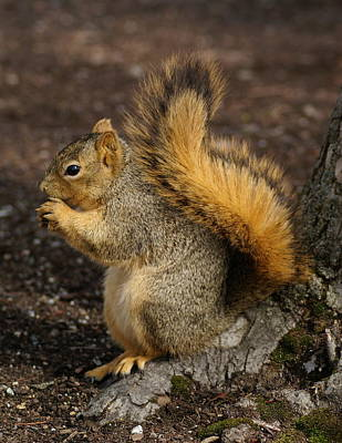 Photograph - Brown Squirrel Having Lunch by Ben Upham III