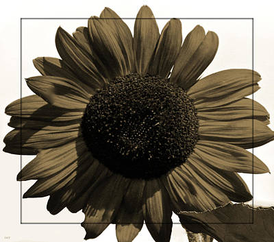 Photograph - Brown Sunflower by Debra     Vatalaro