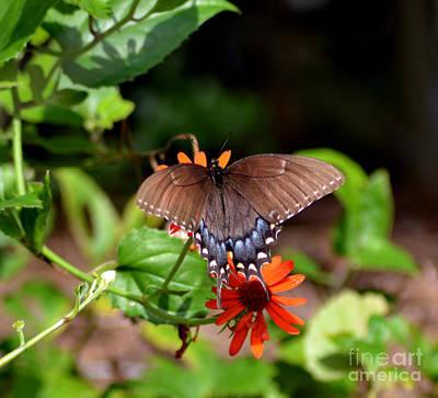 Brown Swallowtail Butterfly Art Print by Eva Thomas