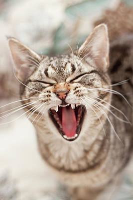 Columbus Ohio Photograph - Brown Tabby Cat Yawning And Showing Teeth by Kathryn Froilan