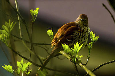 Photograph - Brown Thrasher 1 by Albert Seger