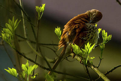 Photograph - Brown Thrasher 2 by Albert Seger
