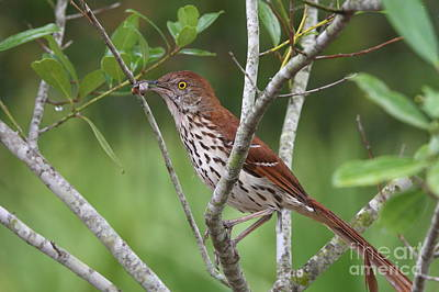 Brown Thrasher Snacking Art Print by Jennifer Zelik