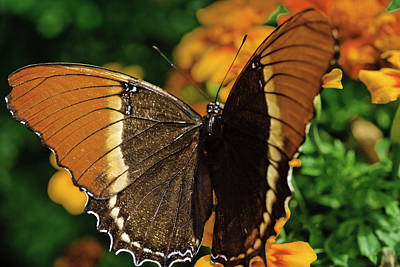 Photograph - Browntip Butterfly by Perla Copernik