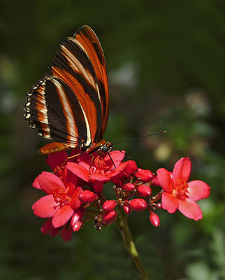 Photograph - Brushfoot Butterfly. by Chris  Kusik