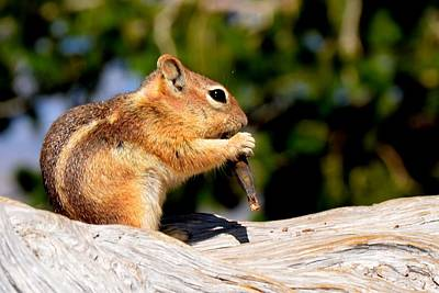 Photograph - Bryce Chipmunk by Mark Bowmer