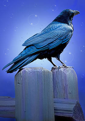 Bubbly Crow Original
