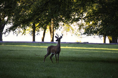 Photograph - Buck At Dawn by Richard Lee