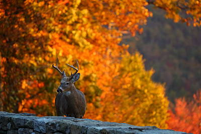 Antlers Photograph - Buck In The Fall 02 by Metro DC Photography