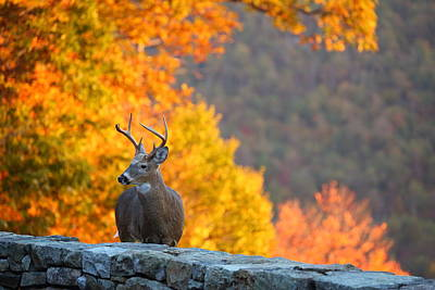 Buck In The Fall 04 Art Print by Metro DC Photography