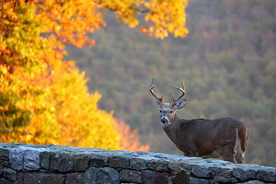 Leaf Photograph - Buck In The Fall 08 by Metro DC Photography