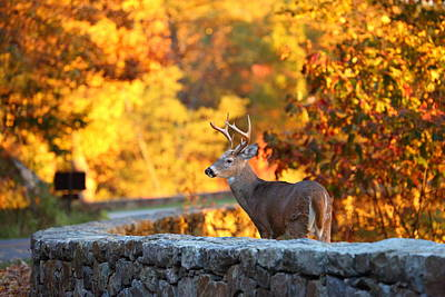 Buck In The Fall 09 Print by Metro DC Photography