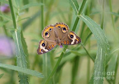 Buckeye Butterfly And Verbena 2 Art Print