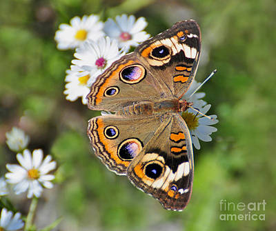 Photograph - Buckeye Butterfly by Rodney Campbell