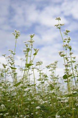 Photograph - Buckwheat Flowers by Wataru Yanagida