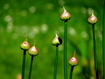 Photograph - Budding Allium by Eva Kondzialkiewicz
