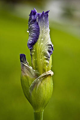 Photograph - Budding Iris by Trudy Wilkerson