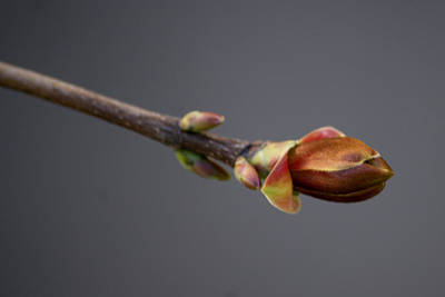 Photograph - Budding Maple Number 5 by Barry Doherty