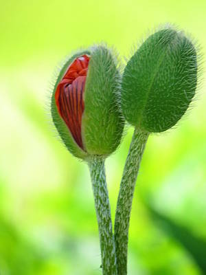 Photograph - Budding Poppies by Eva Kondzialkiewicz