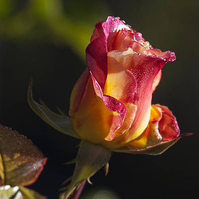 Photograph - Budding Rose by John Noel