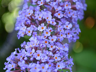 Photograph - Buddleia Bokeh by Victoria Wise