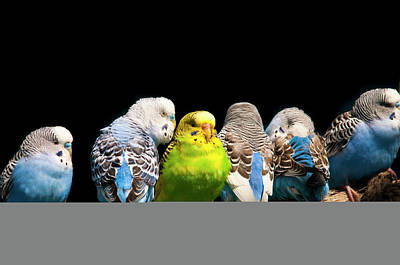In A Row Photograph - Budgerigar by Jim McKinley