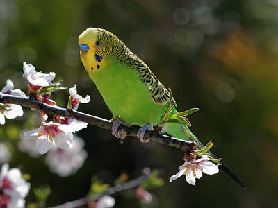 Focus On Foreground Photograph - Budgie Perching On Cherry Branch by QuimGranell