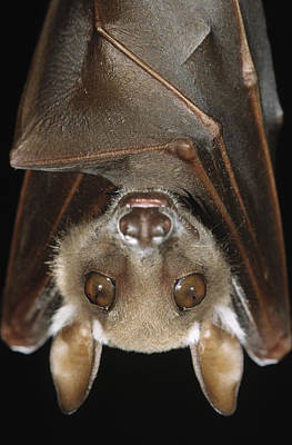 Photograph - Buettikofers Epauletted Bat Epomops by Ingo Arndt