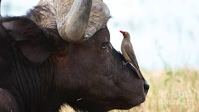 Photograph - Buffalo And Oxpecker by Mareko Marciniak