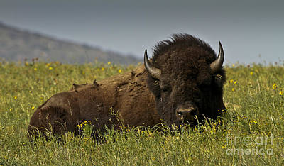 Photograph - Buffalo And Wildflowers by Royce  Gideon