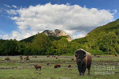 Photograph - Buffalo At Seneca Rocks Wv by Dan Friend