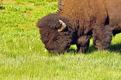Photograph - Buffalo by Helen Haw