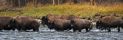 Photograph - Buffalo Herd Panoramic Yellowstone National Park by Schwartz Nature Images