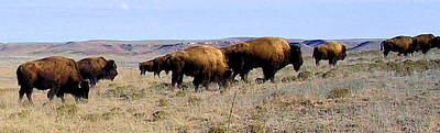 Photograph - Buffalo Herds In Kansas by Cheryl Poland