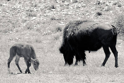 Photograph - Buffalo Mother And Baby by Julie Niemela