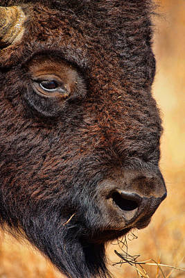 Buffalo Up Close Art Print by Alan Hutchins