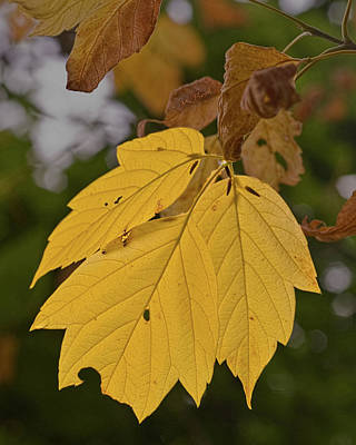 Photograph - Bug Eaten Golden Leaf by Michael Flood