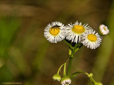 Photograph - Bugging Daisy by LeeAnn McLaneGoetz McLaneGoetzStudioLLCcom