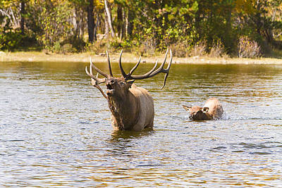 Seasons Photograph - Bugling Bull Elk And Calf Colorado Rut 4 by James BO  Insogna