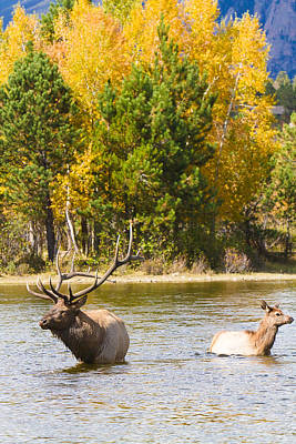 Bull And Cow Elk  Water And Autumn Colors Art Print by James BO  Insogna