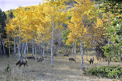 Art Print featuring the photograph Bull Elk And Harem by Nava Thompson
