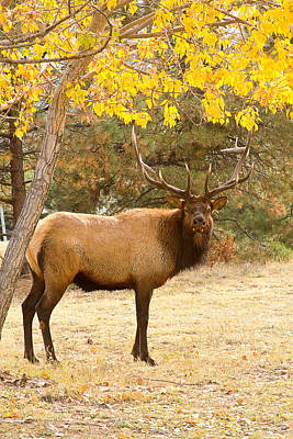 Elk Photograph - Bull Elk Autumn Portrait 2 by James BO  Insogna